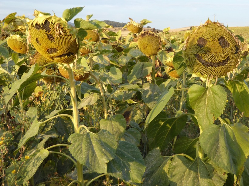These sunflowers have faces on them.