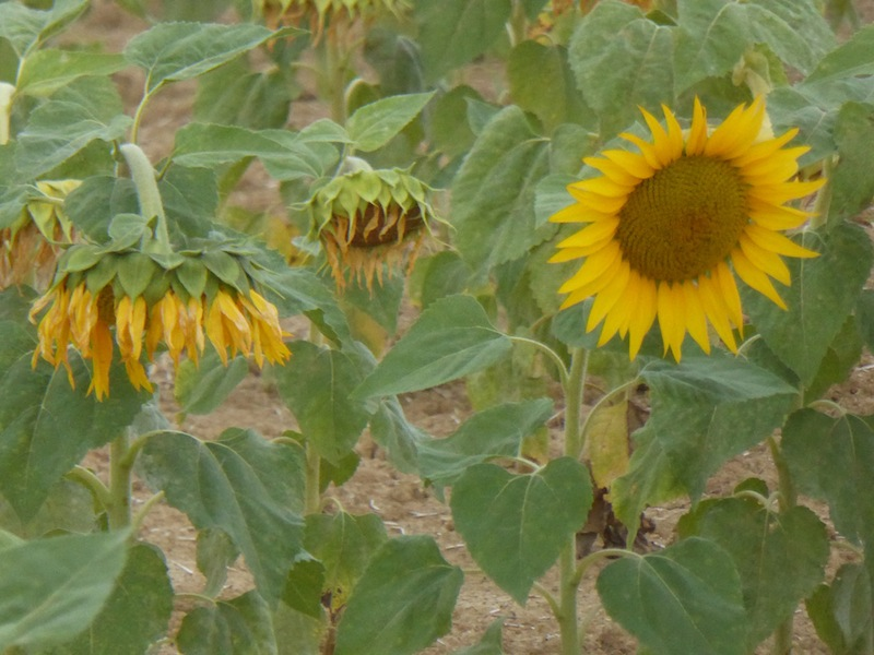 Some sunflowers were still in bloom.