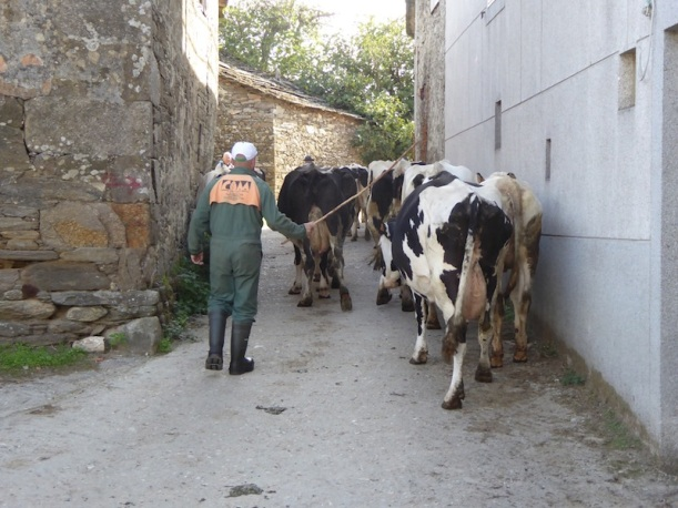 Taking the cows out in Vilcha.