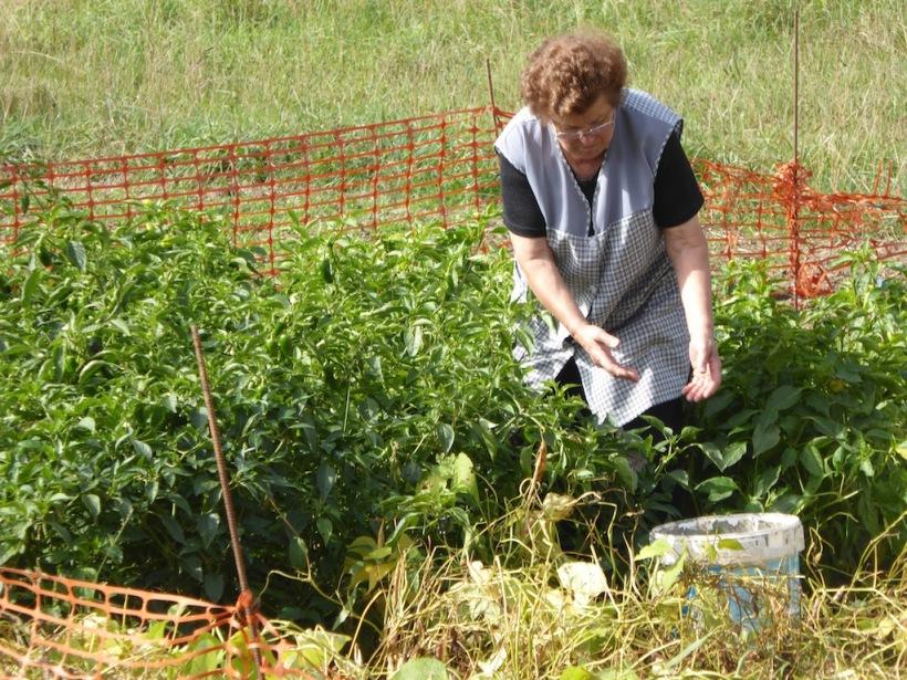 Woman picking vegies