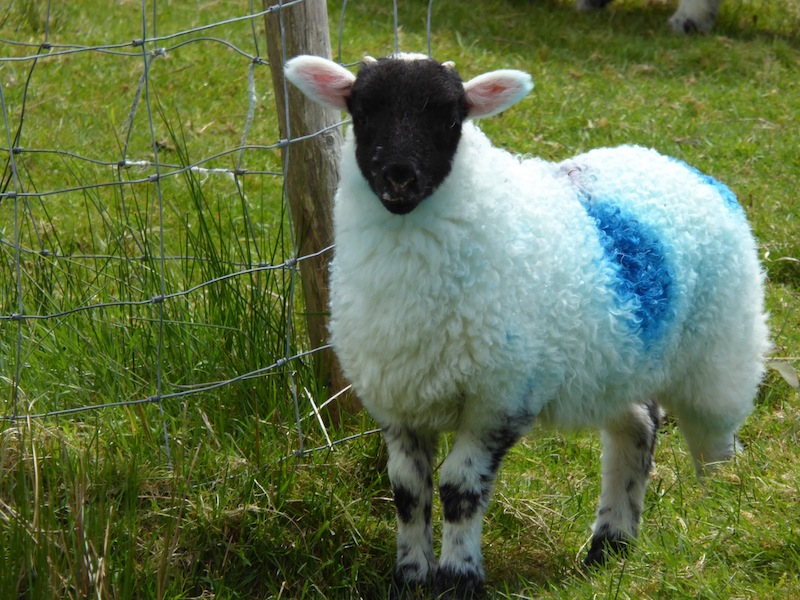 This lamb with pink ears is so cute..