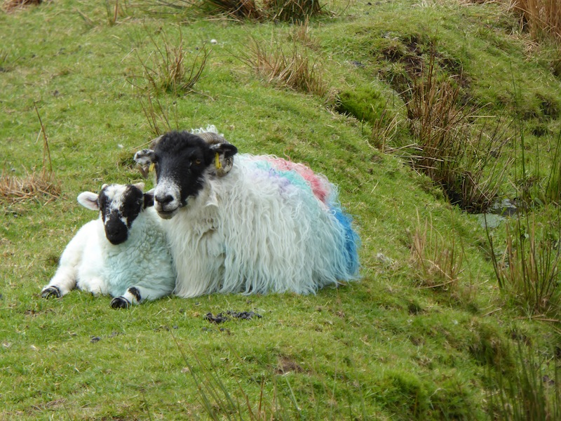 There are sheep and lamb everywhere.