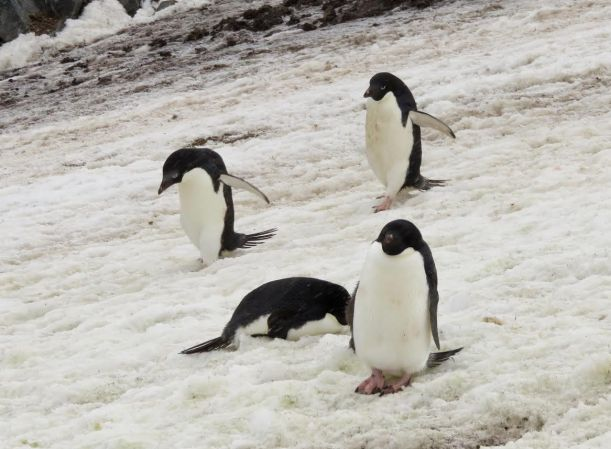 These Adele Penguins are in the snow.