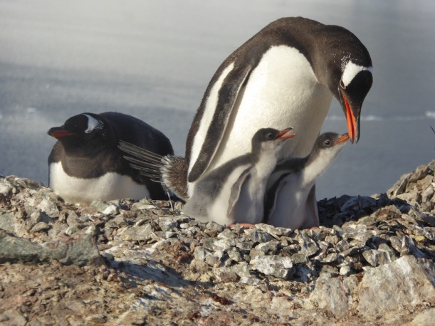 Here are two adorable Gentoo.