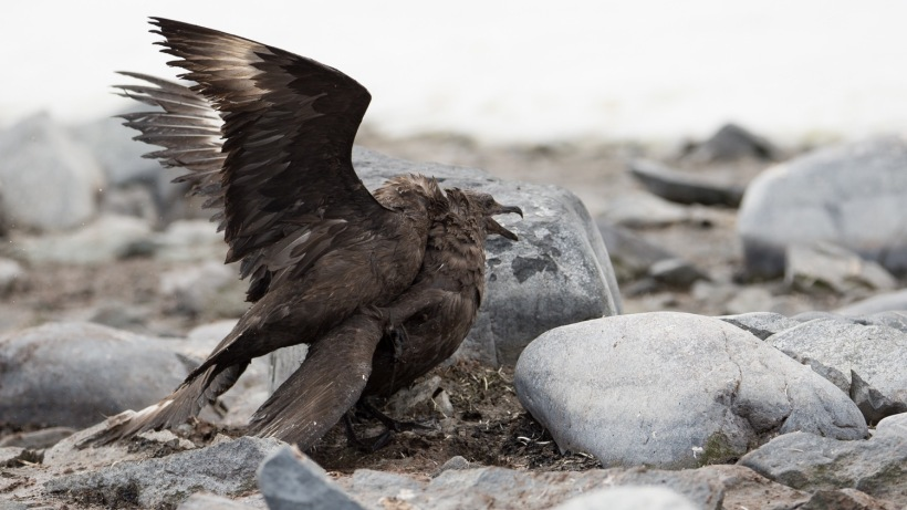 This Skua is on a nest on Cuverville.