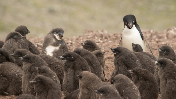 A baby Adele Penguin Rookery