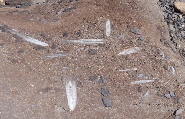 These are Belemnite Fossils.