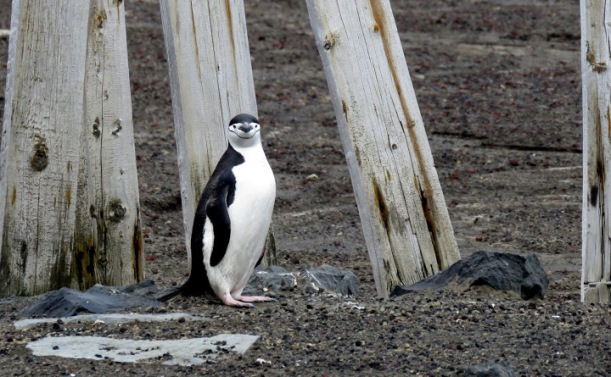 This is a Chinstrap Penguin.