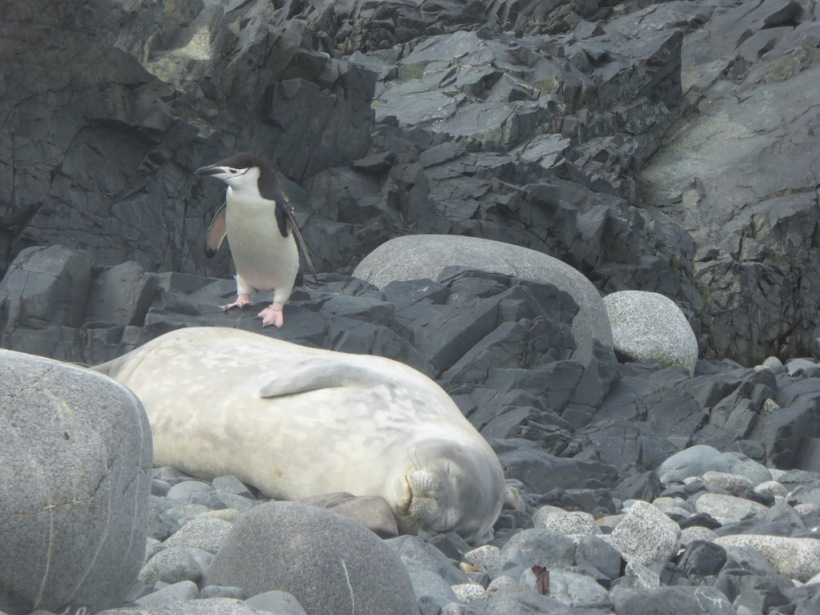 Weddell Seal with a Chinstrap Penguin.