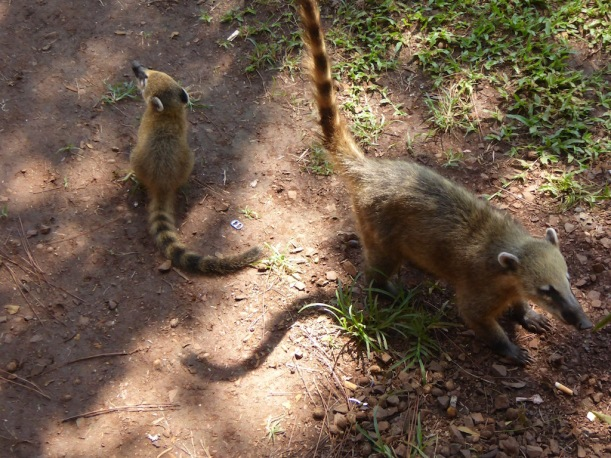 The baby coati can be pretty cute.
