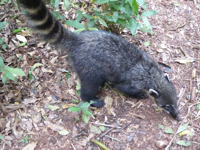 The coati can be very agressive