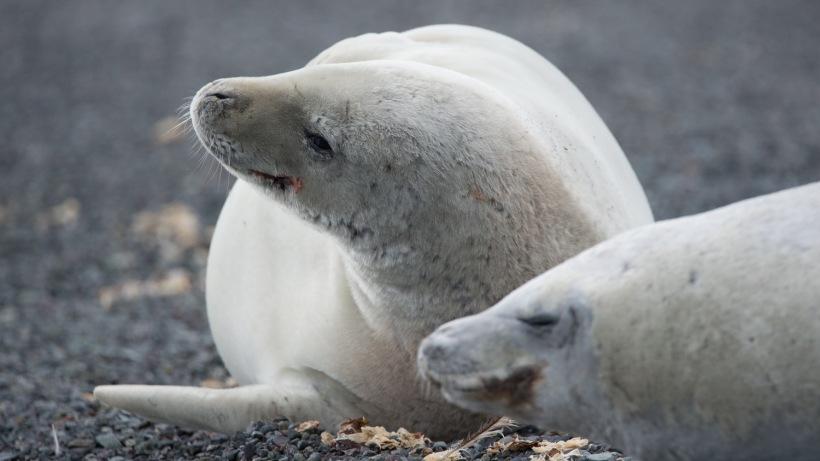 Crabeater Seals resting.