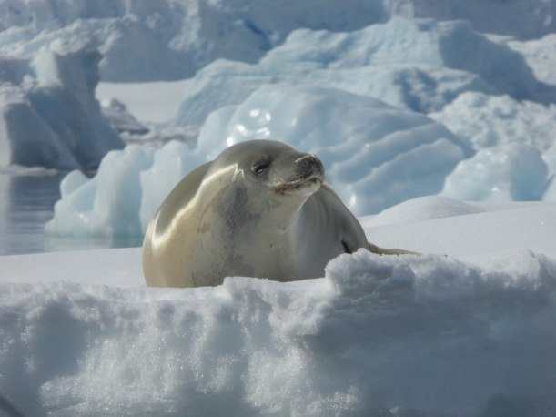 Crabeater Seal is resting on the ice.