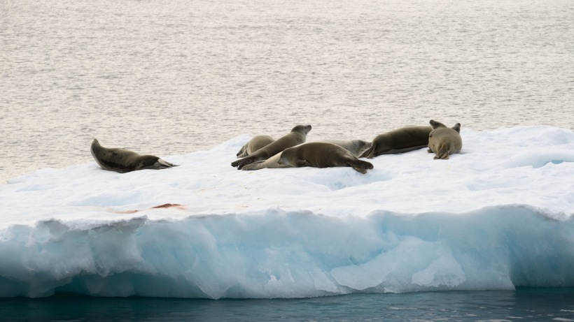 Crabeater Seals on the floating ice.