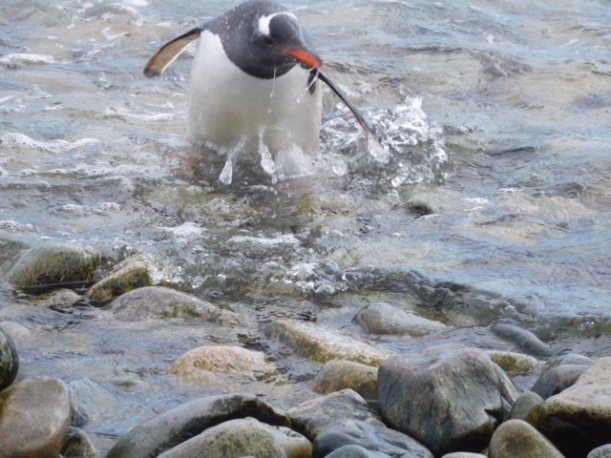 This Gentoo is coming out of the water.