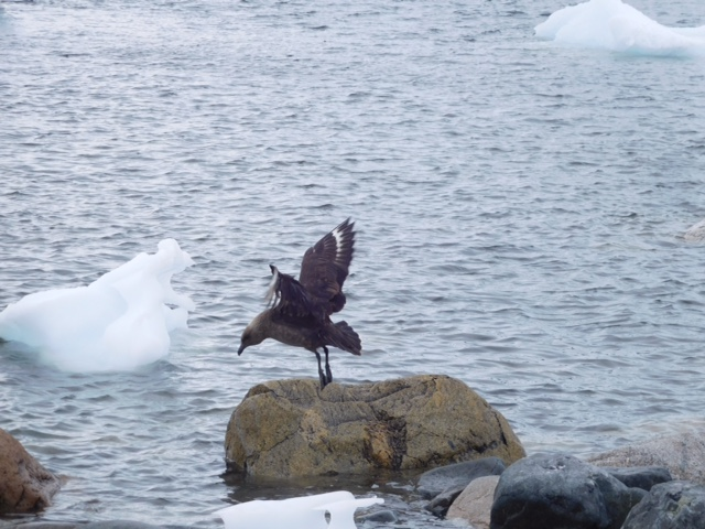 This is a Skua taking off from the rock.