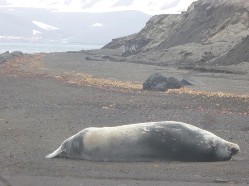 This may be a fur Seal
