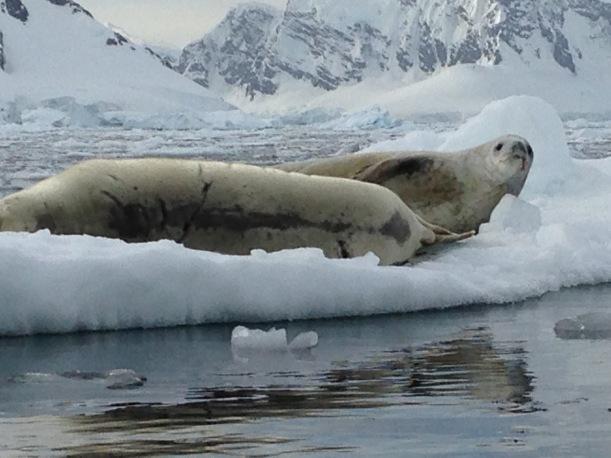 Fur Seals on the ice as we kayak.