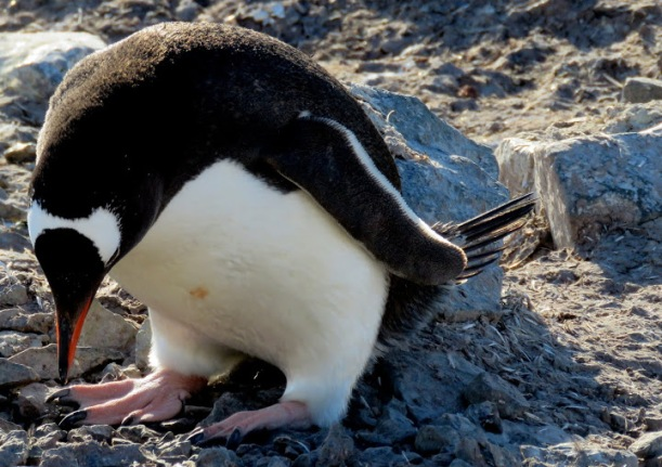 This is a Gentoo Penguin.