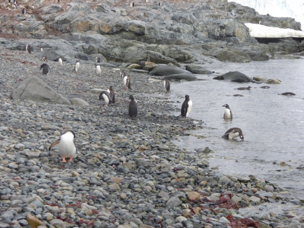 Gentoo Penguins were hanging out by the water.