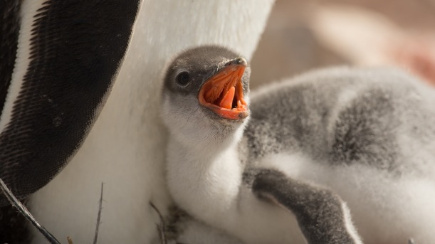 This is a close up of a Gentoo Chick.