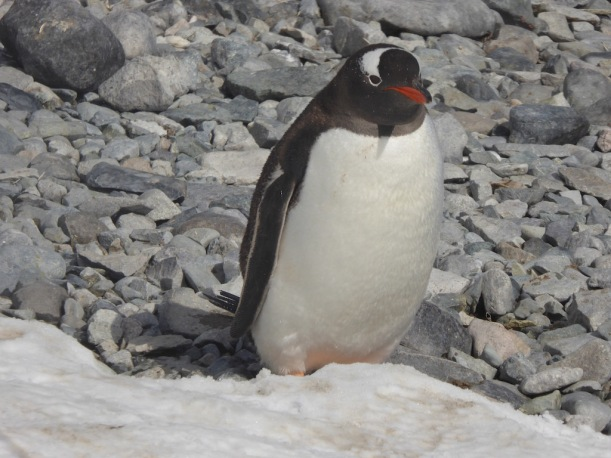 Gentoo penguin on Cuverville.