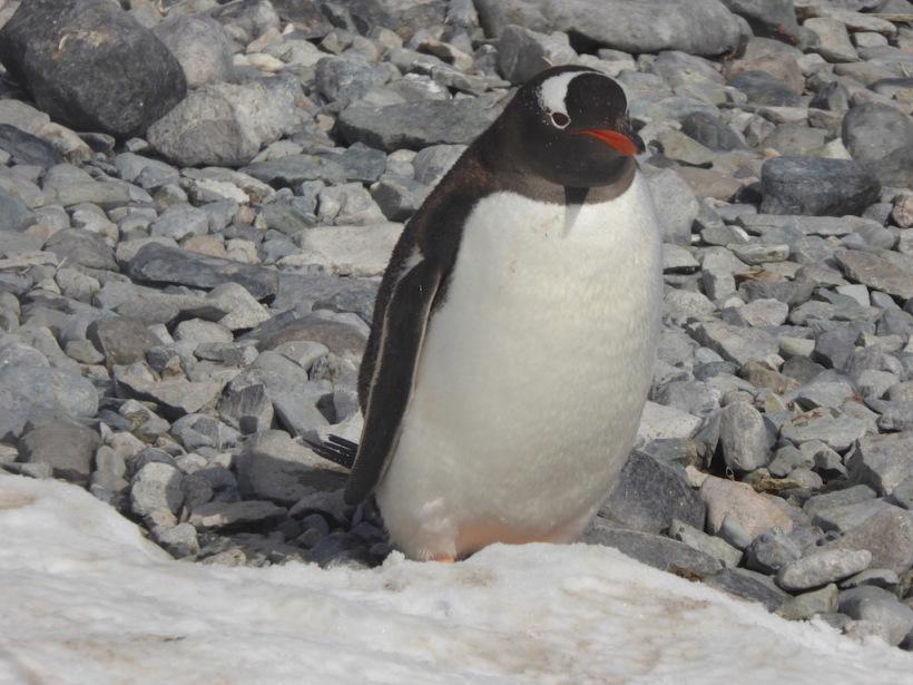 Gentoo penguin on Cuverville.