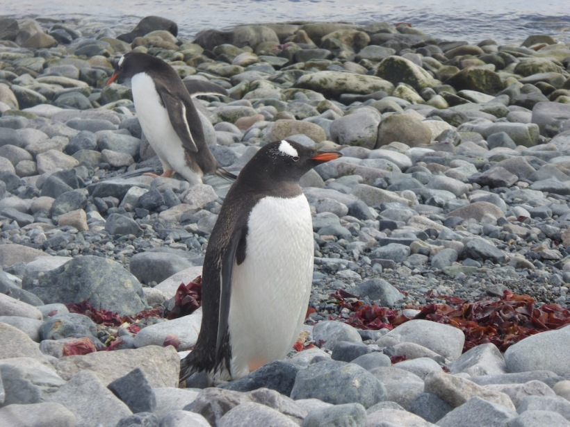 Two Gentoo Penguins on Cuverville Island.