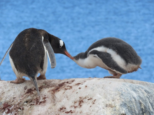 This is an adult Gentoo with a juvenile chick.