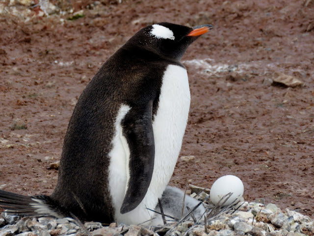There is an abandoned egg near this Gentoo