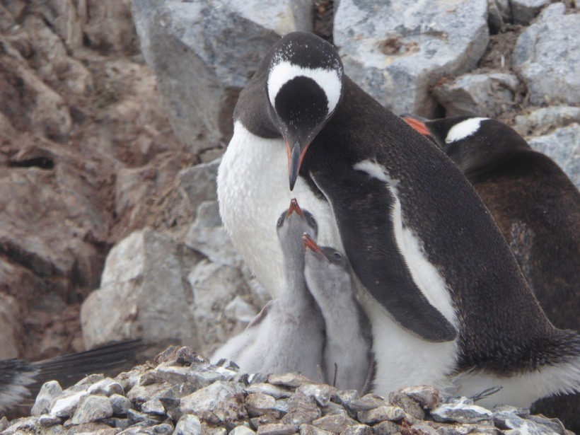 Gentoo with Juvenilles on Cuverville Island.