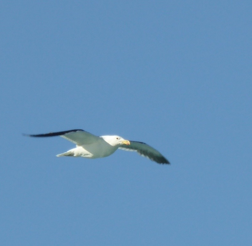 This Kelp Gull flew over Lake Argentina.