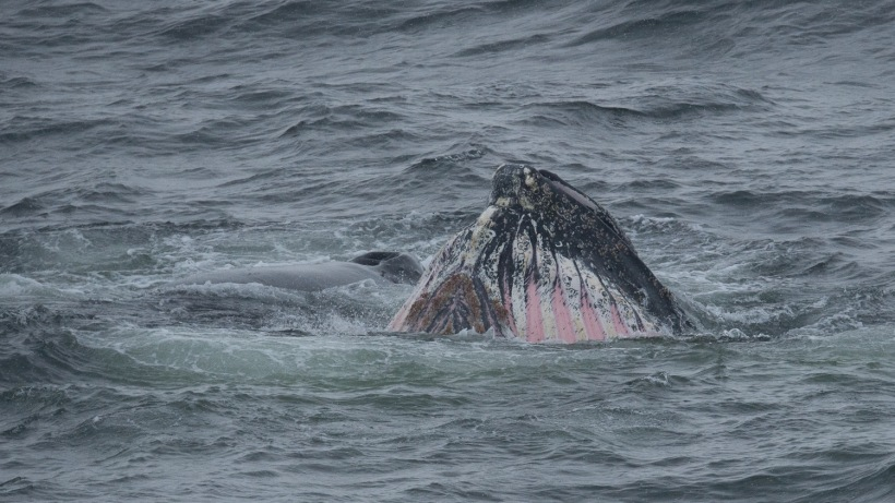 This is another photo of the whale's mouth.