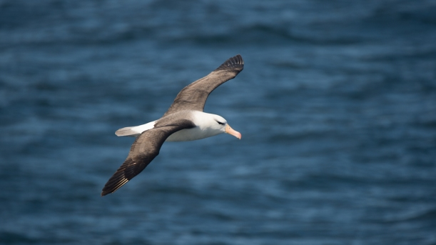This is a Juvenile Black-Browned Albatros