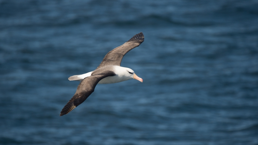 This is a Juvenile Black-Browned Albatros