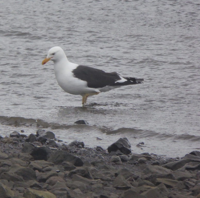 This is a Kelp Gull
