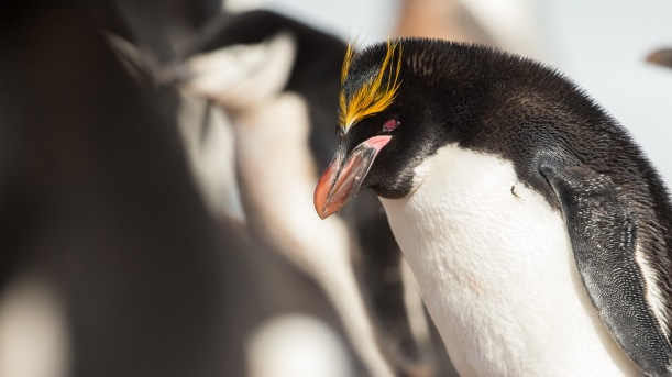 This is a Macaroni Penguin.