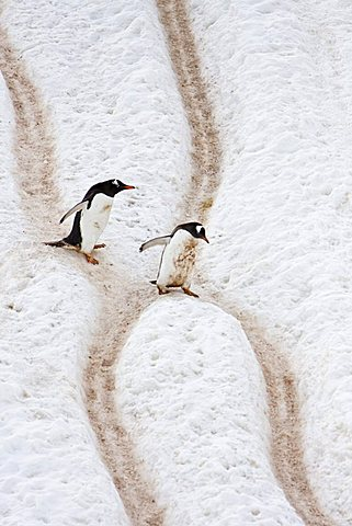 These are penguins traveling on the penguin highways.