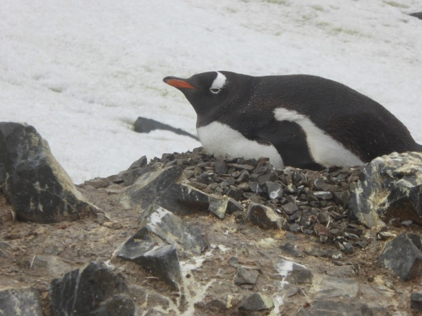 This is an Adele Penguin Sitting on the nest.