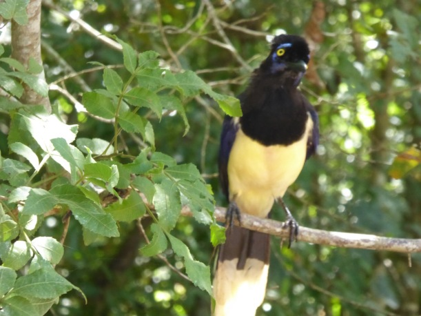 This is a Plush Crested Jay.
