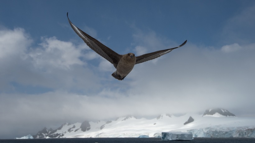 This is a Skua flying overhead.