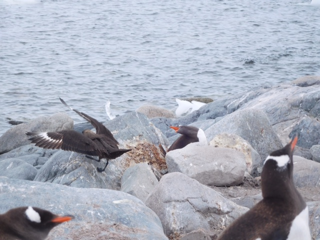 This Skua landed near the Gentoo.
