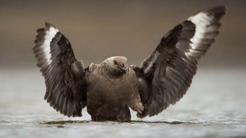This is a Skua in the water