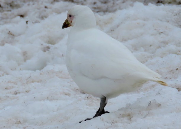 This is a Snowy Sheathbill