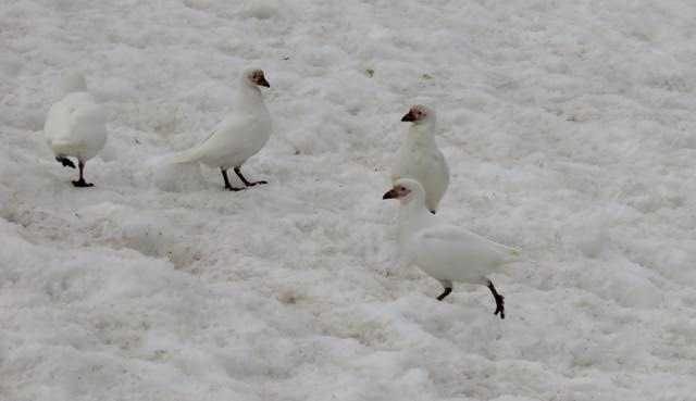 These are Snowy Sheathbills in Antarctica.