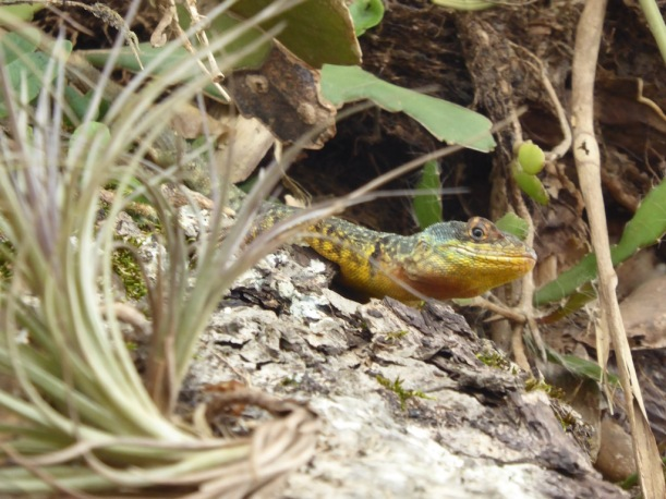 The Southeast Collared Spiny Lizard was hiding in the tree.