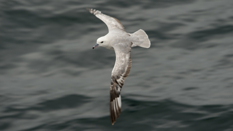 This is a Southern Fulmar