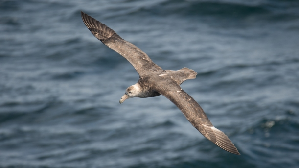 This is a Southern Giant Petrel