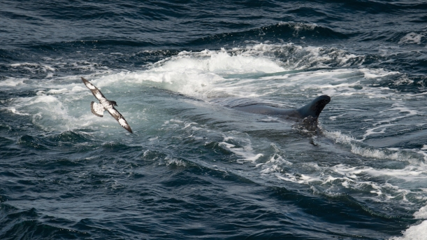 The petrel is flying right near the whale.