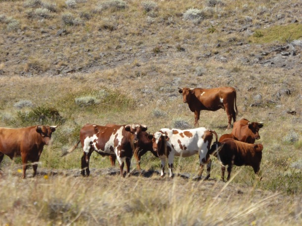 The guide told us these steer were wild.